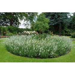 Lawenda Edelweiss (biały kolor kwiatów)