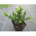 Ostrokrzew karbowanolistny 'Green Hedge'