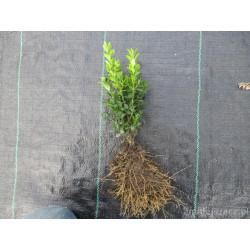 Sadzonki bukszpanu kopane z gruntu 25 cm