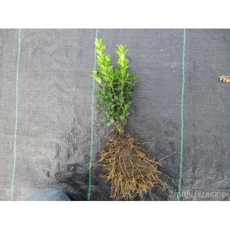 Sadzonki bukszpanu kopane z gruntu 15 cm